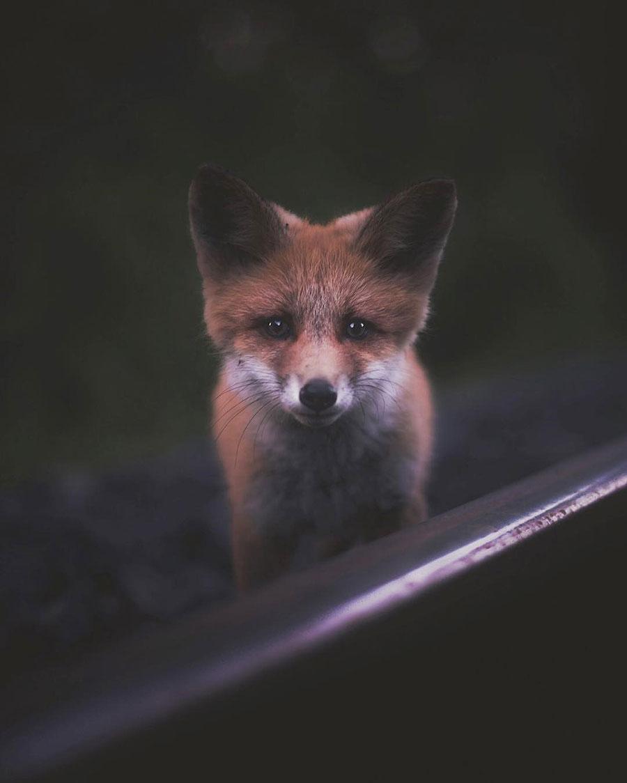 konsta-punkka-fox